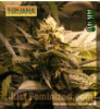 Nirvana AK 48 Female 10 Cannabis Seeds